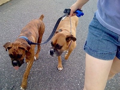 Training boxer puppy to walk on leash