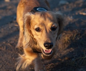 dogs detects cancer