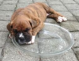 Boxer loves bowl