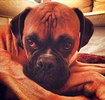 www.dailyboxer.com