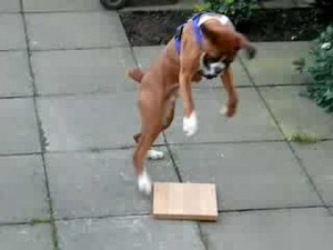 boxer puppy and wood